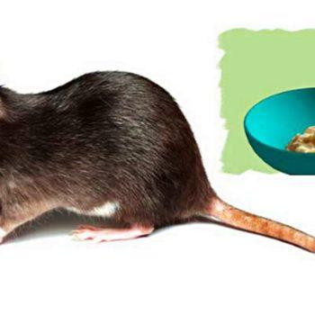 cara_mengusir_tikus
