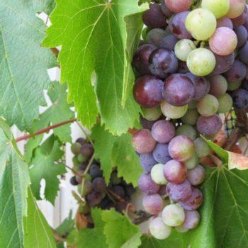 menanam_anggur