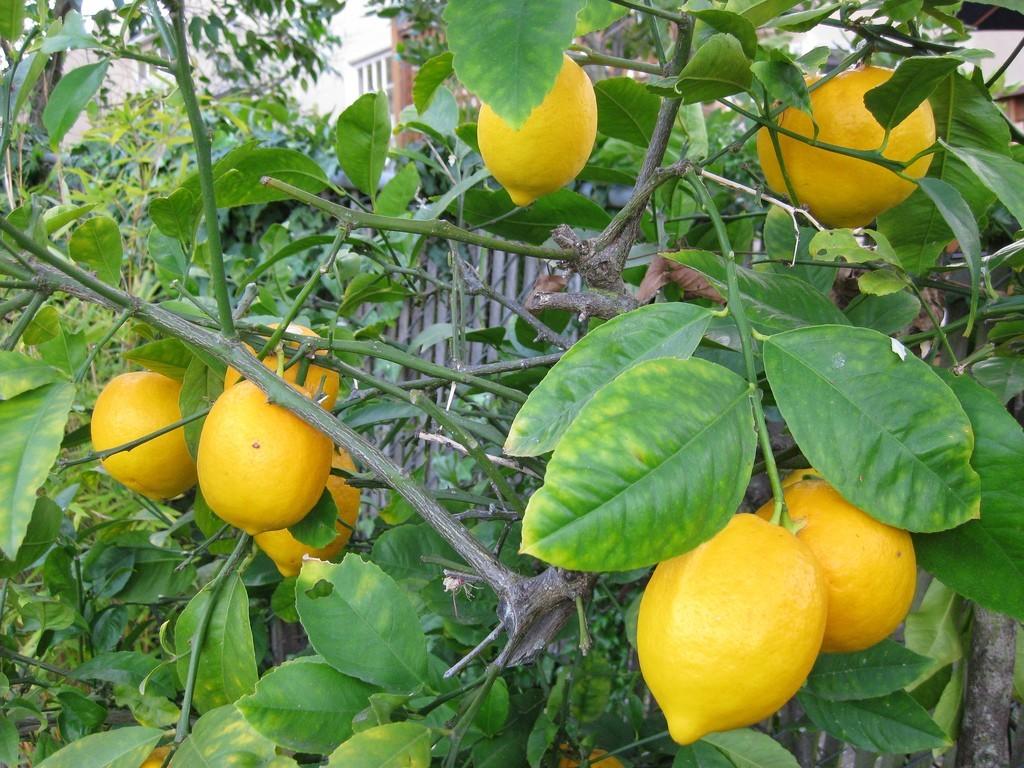 cara-menanam-jeruk-lemon