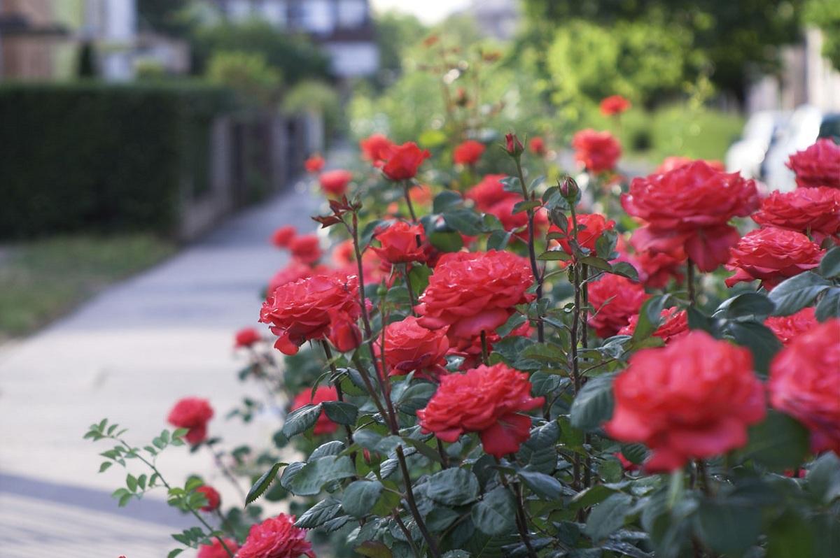 menanam _bunga_mawar