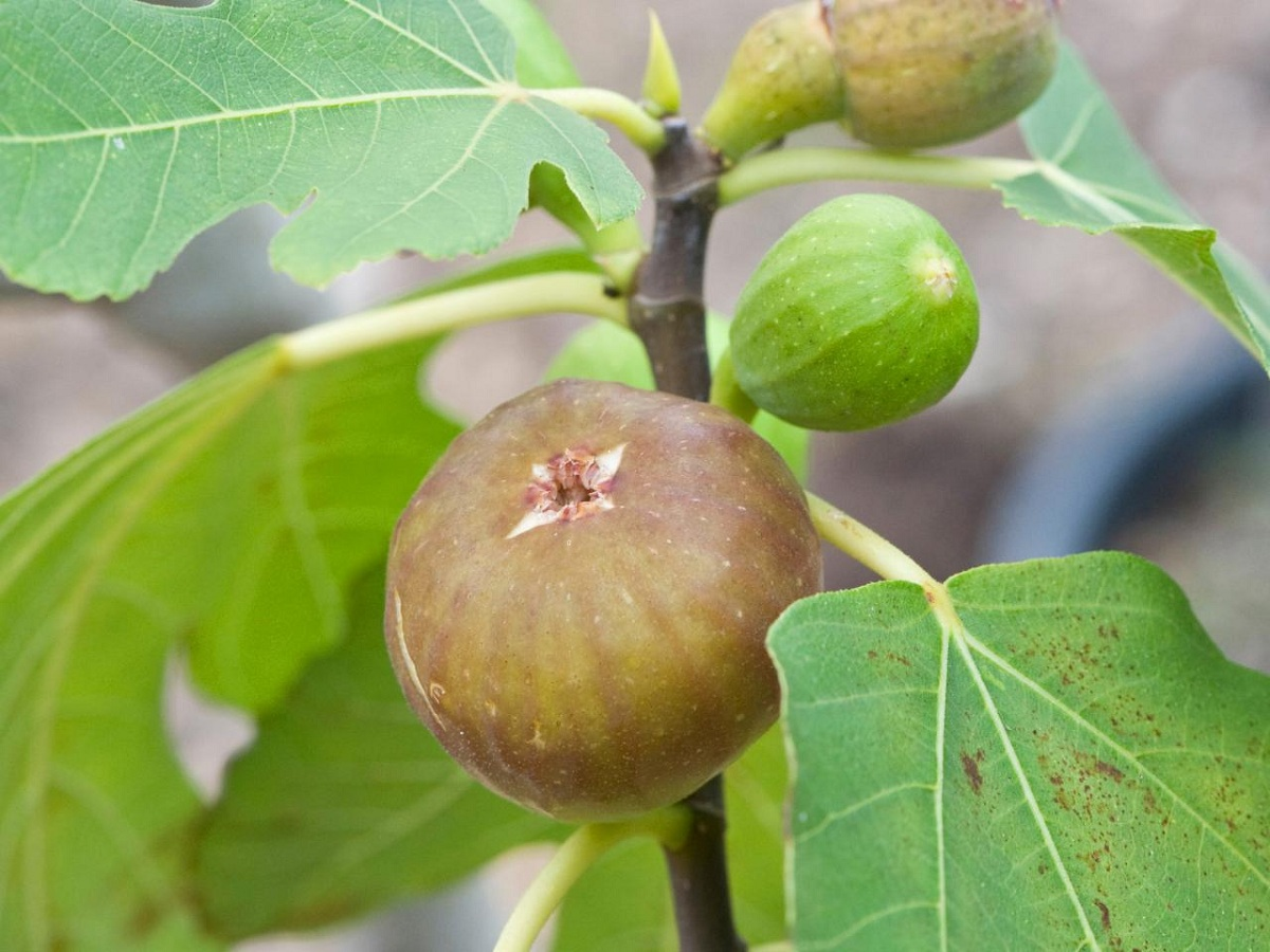 menanam_buah_tin