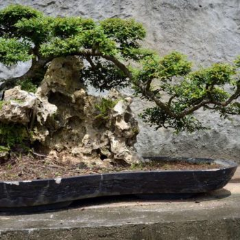 membuat_bonsai