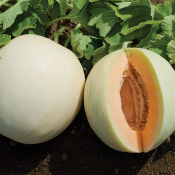 menanam_melon