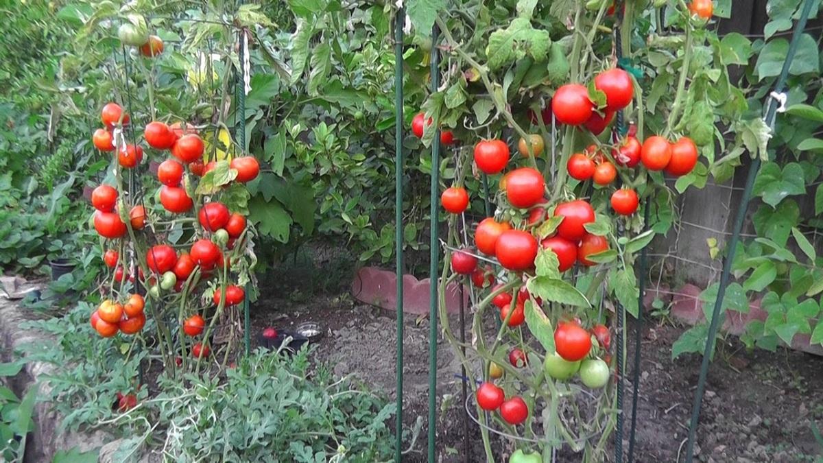menanam_tomat